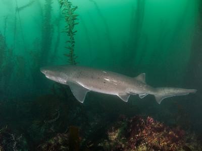 First sevengill shark of 2017 at La Jolla Cove!