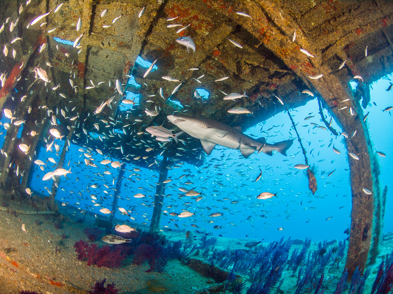 Sand tiger shark enters at the stern of the Aeolus.