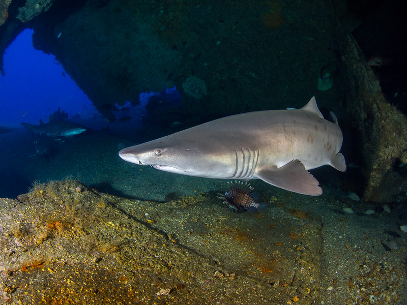 Sand tiger sharks below the Papoose.