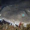 Angel shark at La Jolla Shores.