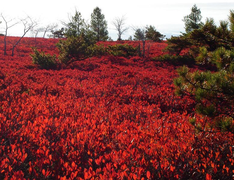 Blueberries, Dwarf Pitch Pine