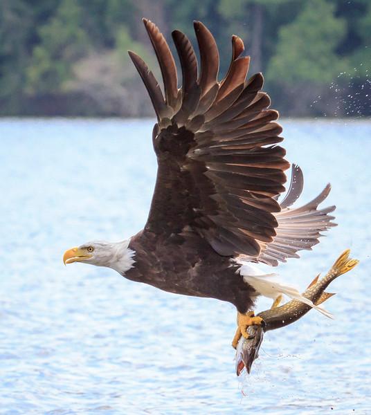Bald Eagle with Northern Pike