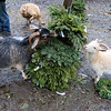 The Townsend farm Shay's Showbirds Flock of Fun Farm excepts Christmas trees to help feed their goats. a couple of the the farms goats eating some donated wreaths at the farm on Friday afternoon December 28, 2018. SENTINEL & ENTERPRISE/JOHN LOVE