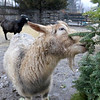 The Townsend farm Shay's Showbirds Flock of Fun Farm excepts Christmas trees to help feed their goats. One of the the farms goats eating some donated wreaths at the farm on Friday afternoon December 28, 2018. SENTINEL & ENTERPRISE/JOHN LOVE