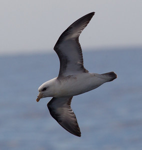Northern Fulmar  San Diego Waters 2013 01 01 (4 of 4)-1.CR2