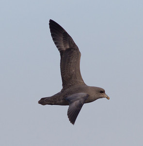Northern Fulmar  San Diego Waters 2013 01 01 (4 of 4).CR2