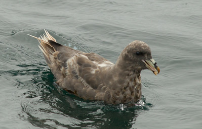 Northern Fulmar  Monterey 2011 09 22-3.CR2