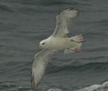 Northern Fulmar  Monterey 2011 09 22-2-1.CR2