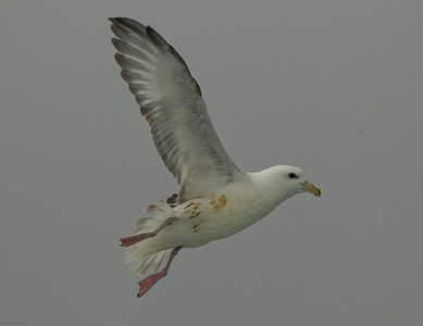 Northern Fulmar  Monterey 2011 09 22-1-1.CR2