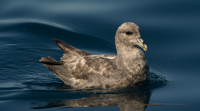 Northern Fulmar San Diego Waters 2916 04 17-1.CR2