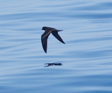 Black Storm-Petrel  Orange County waters 2012 07 21 (3 of 3).CR2
