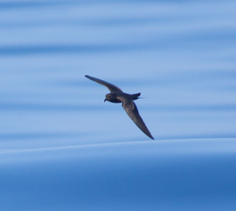 Black Storm-Petrel San Diego waters 2010 05 07-1.CR2