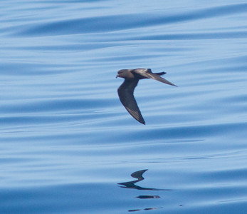 Black Storm-Petrel  Orange County waters 2012 07 21 (2 of 3).CR2