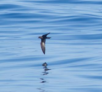 Black Storm-Petrel  Orange County waters 2012 07 21 (1 of 3).CR2