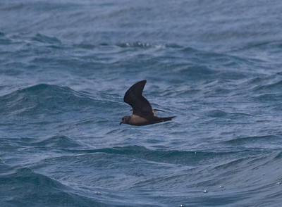 Black-storm Petrel San Diego Waters 2016 04 27-1.CR2