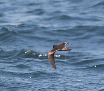 Leach`s Storm Petrel Near 9 Mile Bank San Diego 2016 08 15-2.CR2