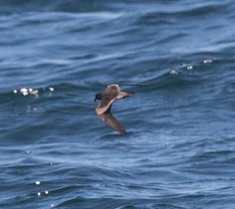 Leach`s Storm Petrel Near 9 Mile Bank San Diego 2016 08 15-4.CR2