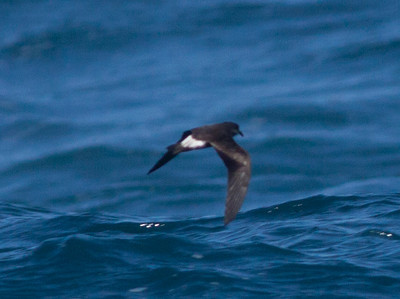 Leach`s storm Petrel  Mexican Waters 2010 08 25-2.CR2