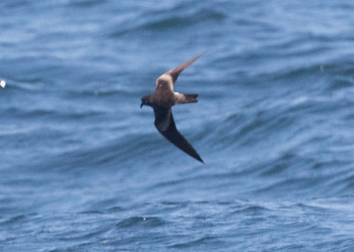 Leach`s Storm Petrel Near 9 Mile Bank San Diego 2016 08 15-3.CR2
