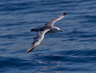 Leucistic Black-vented Shearwater  Orange County Pelagic  2013 01 12 (1 of 3).CR2 (1 of 2).CR2