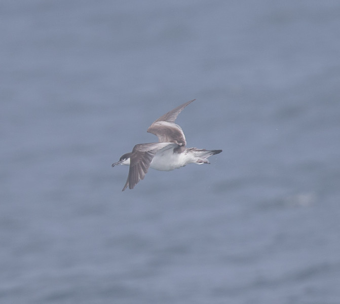 Buller`s Shearwater off Half Moon Bay 2018 09 16-5.CR2