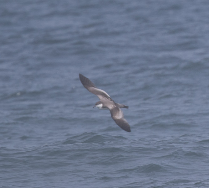 Buller`s Shearwater off Half Moon Bay 2018 09 16-1.CR2