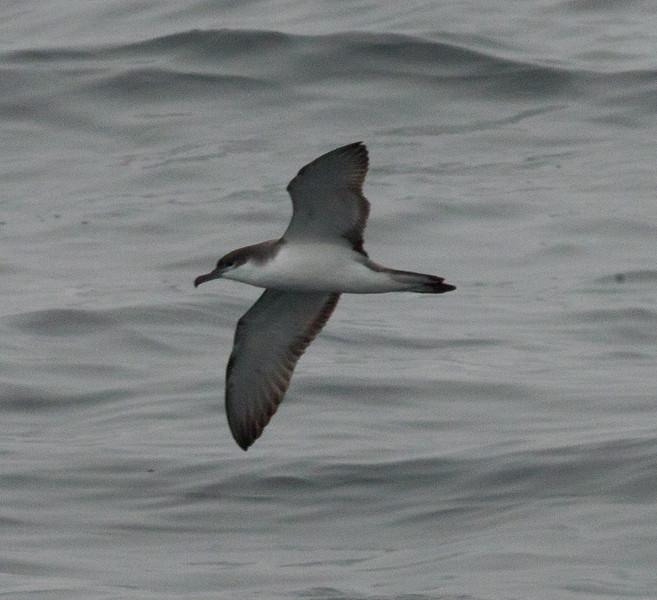 Buller`s Shearwater  Monterey 2011 09 22-2.CR2
