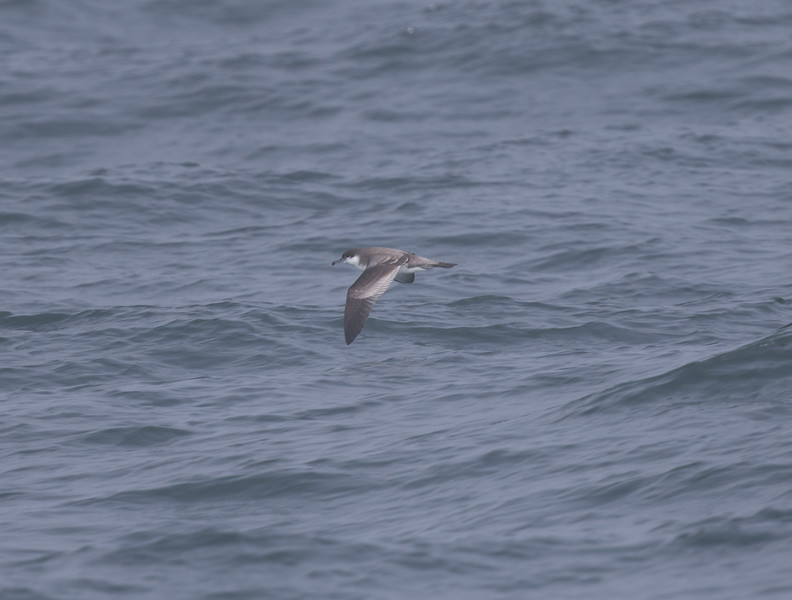 Buller`s Shearwater off Half Moon Bay 2018 09 16-4.CR2