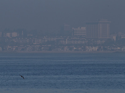 Flesh-footed Shearwater  Orange County Waters  2014 01 11-1739.CR2