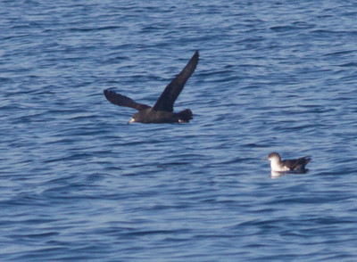 Flesh-footed Shearwater  Orange County Waters  2014 01 11-1745.CR2