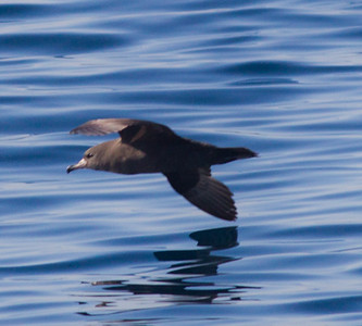 Flesh-footed Shearwater  Orange County Waters  2014 01 11-1753.CR2
