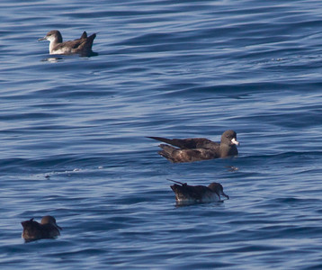 Flesh-footed Shearwater  Orange County Waters  2014 01 11-1747.CR2