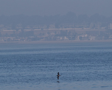 Flesh-footed Shearwater  Orange County Waters  2014 01 11-1742.CR2