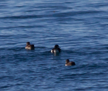 Manx Shearwater Black-vented Shearwater  Orange County Pelagic  2013 01 12 (1 of 1).CR2