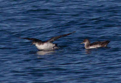 Manx Shearwater Black-vented Shearwater Orange County Pelagic  2013 01 12 (3 of 3).CR2