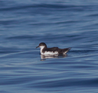 Manx Shearwater  Orange County Pelagic  2013 01 12 (2 of 8).CR2