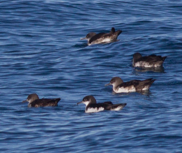 Manx Shearwater Black-vented Shearwater Orange County Pelagic  2013 01 12 (1 of 3).CR2