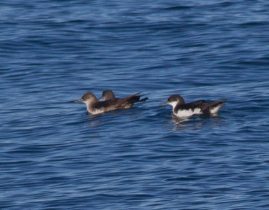 Manx Shearwater Black-vented Shearwater Orange County Pelagic  2013 01 12 (2 of 3).CR2