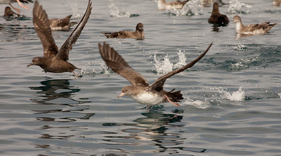 Pink-Footed Shearwater Black-Vented Shearwater San Diego Waters  07 31 10
