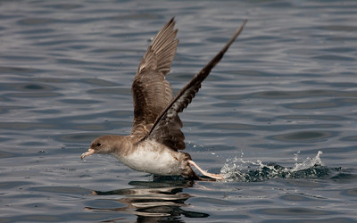 Pink-Footed  Shearwater San Diego Waters 2010 07 31-7.CR2