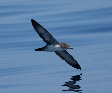 Pink-Footed  Shearwater San Diego Waters 2010 05 07-1.CR2