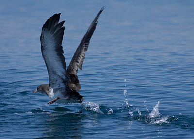 Pink-footed  Shearwater San Diego Waters 2010 07 31-8.CR2