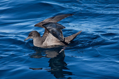 Short-tailed  Shearwater Mexican Waters 2011 01 22-4.CR2