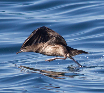 Sooty  Shearwater  Orange County Pelagic  2013 01 12 (1 of 3).CR2 (11 of 11).CR2