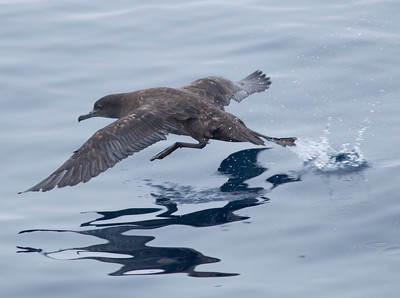 Sooty Shearwater   Orange County waters 2012 09 22 (2 of 2).CR2