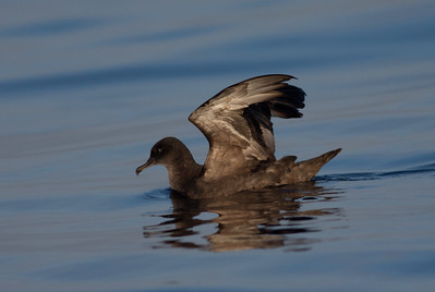 Sooty Shearwater  San Diego waters 2010 05 07-1.CR2