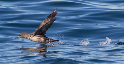 Sooty  Shearwater  Orange County Pelagic  2013 01 12 (1 of 3).CR2 (9 of 11).CR2