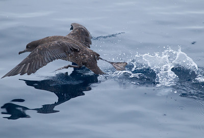 Sooty Shearwater   Orange County waters 2012 09 22 (1 of 2).CR2