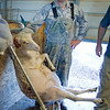 Volunteer Jimmy Mays tries to calm a sheep while she's getting inoculated and has her hooves trimmed.