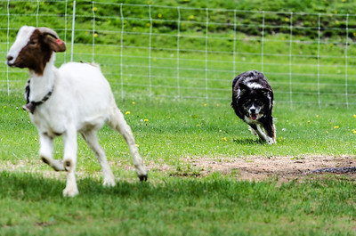 Shedding a goat